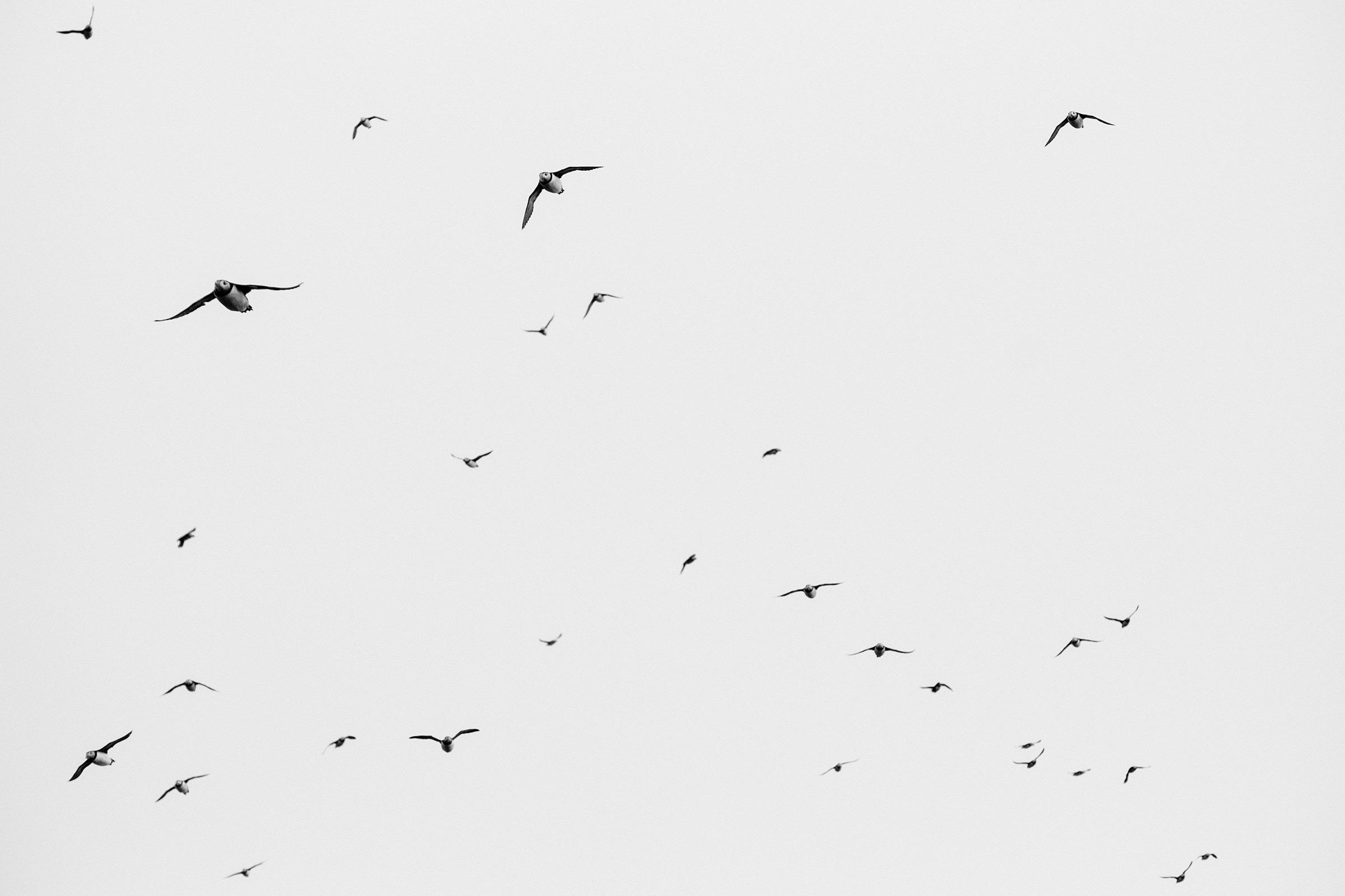 Papageitaucher, Färöer-Inseln, Foto: Martin Hülle